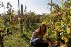 Vindruvsplockning