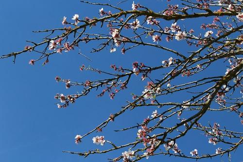 Frukträd i blom